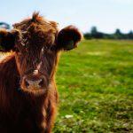 Fleischerei Grimsehl Kuh Mellendorf Fleisch Herkunft Lokal Bio (1)