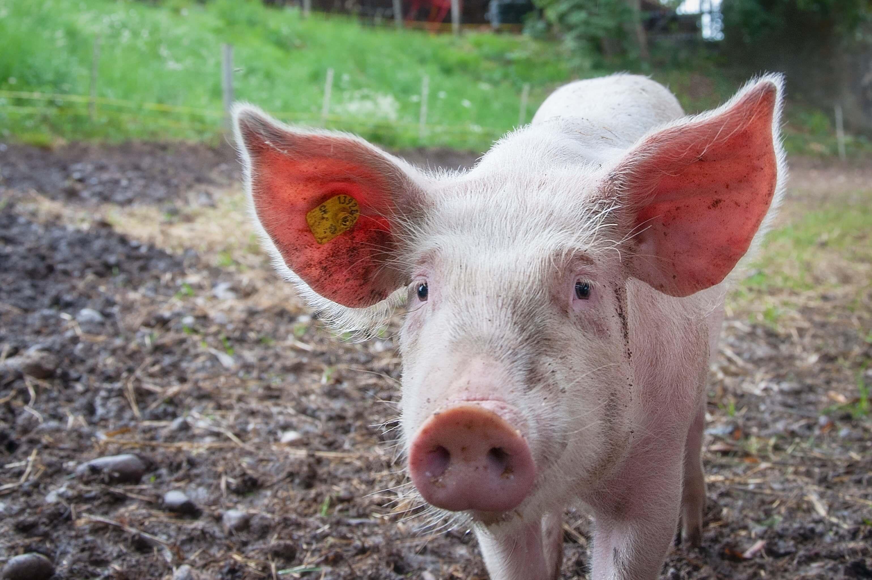 Fleischerei Grimsehl Schwein Abbensen Fleisch Herkunft Lokal Bio (2) (1)